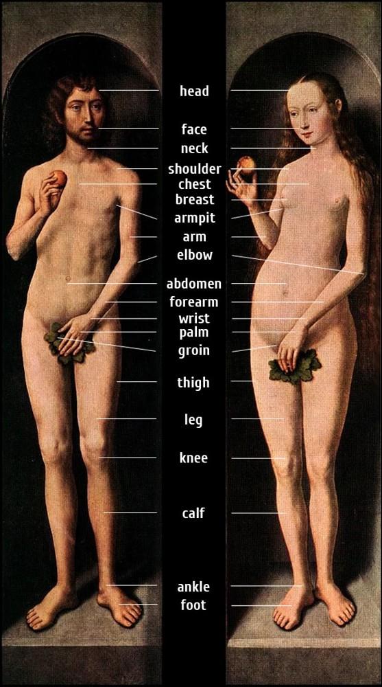 Названия частей человеческого тела на английском