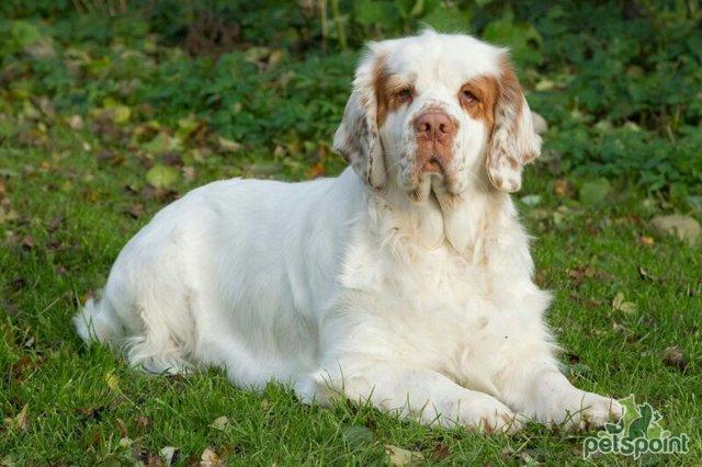 ТОП-10 самых английских пород собак